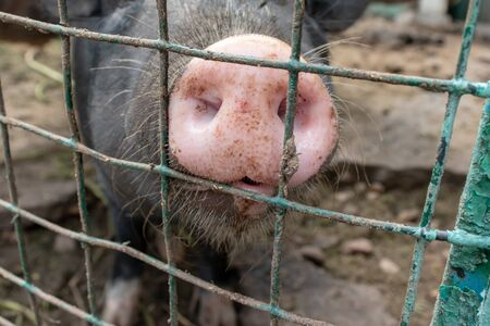 Dirty pig snout nose behind the bars of a pigsty close up. 版權商用圖片