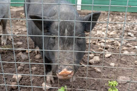 Black cute pigs with a pink snout nose behind the metal mesh fence in the country farm.