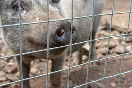 Black cute pig with a black snout nose behind the metal mesh fence in the country farm. 版權商用圖片