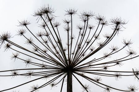 Giant dry hogweed, cow parsnip on gray sky background.
