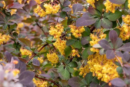 Flowering blossom Thunberg's barberry or Berberis thunbergii in spring, cultivar with red leaves and yellow flowers.