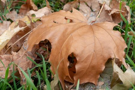 Dry fallen leaves, foliage close up on a lavn needed to be cleaned, gardening and autumn cleaning concept.
