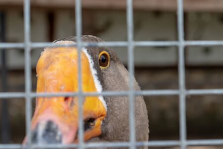 A head of a gray caged goose with an orange beak close up behind a metal fence in a poultry farm, meat production concept.
