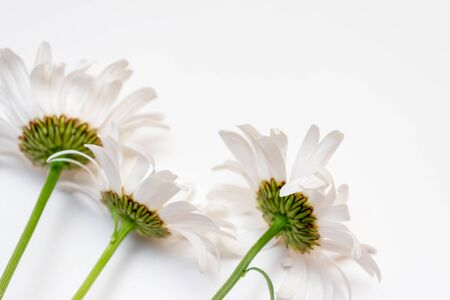 Beautiful camomile daisy flowers, medicinal herbs on white background with copy space. Reklamní fotografie - 137123539
