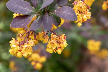 Honey plant flowers Thunberg's barberry or berberis thunbergii in spring, cultivar with red leaves and yellow flowers. Reklamní fotografie - 137126718