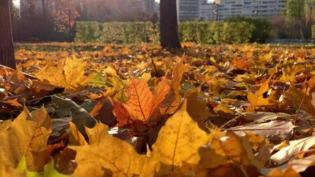 Beautiful colorful colden autumn fall maple leaxes lying on the ground in sunlight and moving by the wind, modern city on background. Reklamní fotografie - 137126784