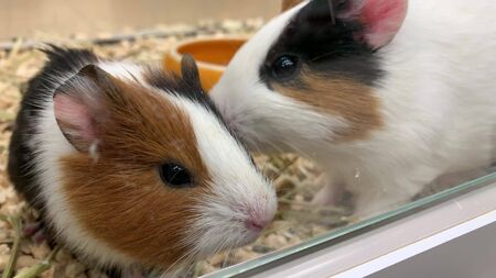 Two cute adorable guinea pigs in a cage at pet shop, they sniffing the air and running. Reklamní fotografie - 137126790