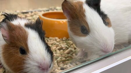 Two cute adorable guinea pigs in a cage at pet shop, they sniffing the air and running