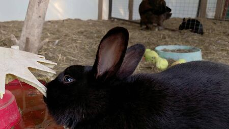 A cute furry black rabbit bunny in a cage at animal farm close up.
