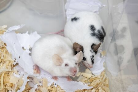 A couple of tame pets, mice, old white albino and young spotted mouse living together in a cage, they are friends.
