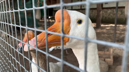 A head of two gray and white caged goose with an orange beak close up behind a metal fence in a poultry farm, meat production concept. Reklamní fotografie - 137158117