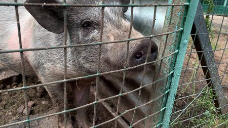 Three cute black pigs sitting behind the metal fence of the cage and begging for food, funny snouts noses close up.