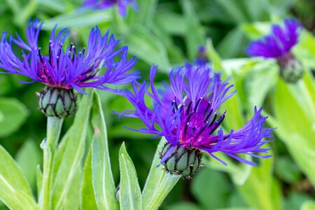 Blue flowers of Centaurea scabiosa also known as greater knapweed, beautiful colorful decorative garden plant which attracts honeybees insects, summer background Reklamní fotografie