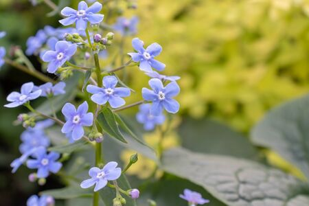 Blue flowers of forget-me-not in spring sunny day with light green foliage, leaves on background with copy space.