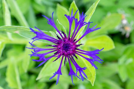 Violet flower of Centaurea scabiosa also known as greater knapweed, beautiful ornamental garden plant which highly attracts insects. Reklamní fotografie - 140558041