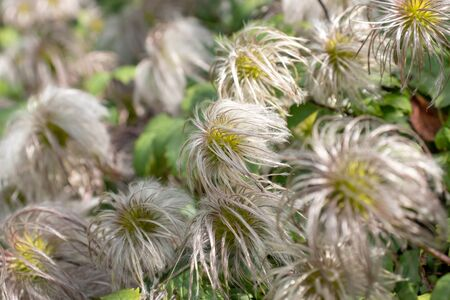 Fluffy heads of clematis seeds in late summer or autumn, faded flowers with silver balls of seeds. Reklamní fotografie