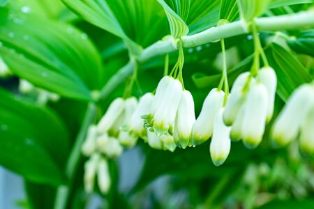 Polygonatum multiflorum flowers close up, branch of the blossoming Eurasian Solomon as a spring background. Reklamní fotografie