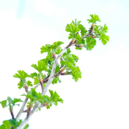 A green twig, brunch of gooseberry shrub close up in spring day. Stock Photo