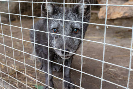 Hungry, weak and sick arctic fox locked in a cage behind a metal fence and wants to go home, rescue of wild animals in captivity.