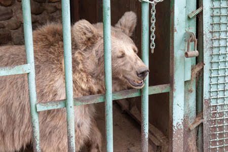 Hungry, weak and sick bear locked in a cage behind a metal bars, rods and wants to go home, rescue of wild animals in captivity.