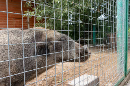 Hungry, weak and sick unhappy wild pig hog boar locked in a cage behind a metal fence and wants to go home, rescue of wild animals in captivity.