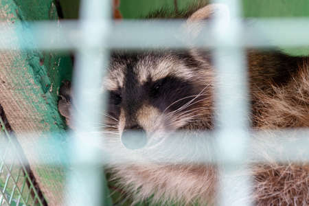 Hungry, weak and sick sleeping raccoon locked in a cage behind a metal fence and wants to go home, rescue of wild animals in captivity.