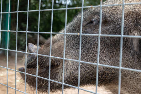 Hungry, weak and sick unhappy wild pig hog boar locked in a cage behind a metal fence and wants to go home, rescue of wild animals in captivity