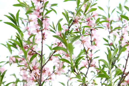 Beautiful tree branches with pink flowers, almond steppe or Sakura, beautiful spring background, decorative flowering culture with expressive fragrant flowers Stock Photo