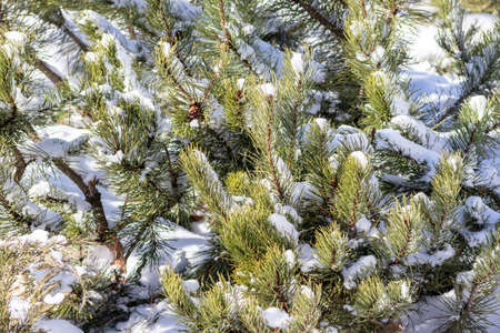 Snowy pine tree branches on sunny winter day, evergreen tree background.