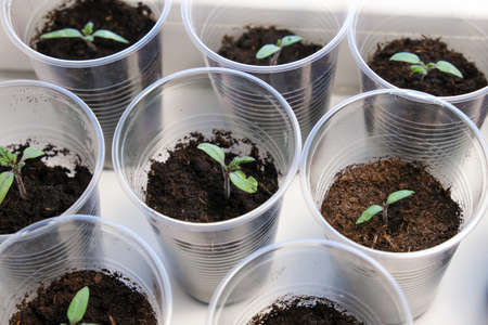 Small tomato seedlings in a plastic cups on a window sill, vegetable seed growing indoors for garden usage after
