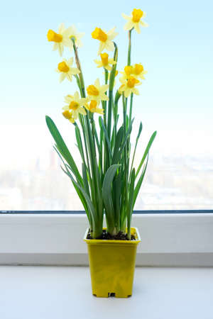 A yellow potted first spring flowers narcissus on a window sill, live bouquet of beautiful colorful blooming flowers