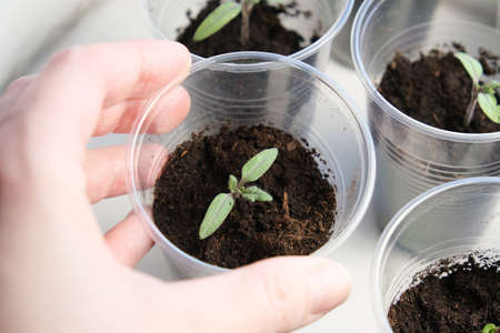 A hand holding small tomato seedling in a plastic cup, vegetable seed growing indoors Фото со стока