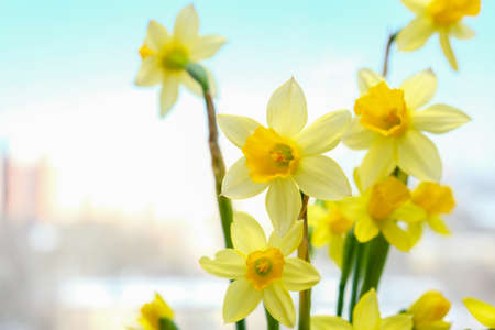 First spring yellow blooming flowers narcissus close up with copy space Фото со стока