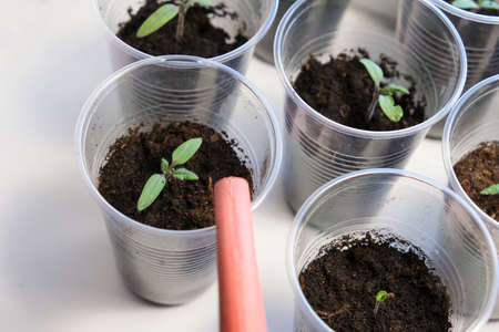 Watering small tomato seedlings in a plastic cups on a window sill, vegetable seed growing indoors for garden usage after