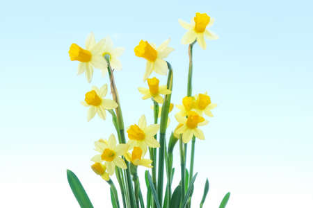 First spring yellow blooming flowers narcissus against blue background Фото со стока