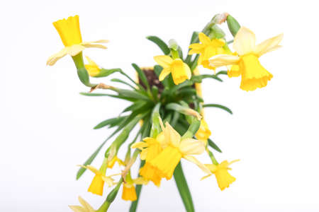 First spring yellow blooming potted flowers narcissus against white background, top view Фото со стока