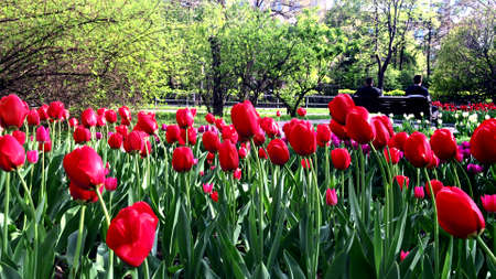 Many red and violet tulip flowers in city park, people sitting on a bench and resting on background