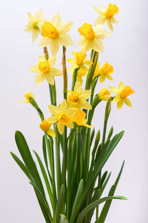 First spring yellow blooming flowers narcissus against white background close up Фото со стока