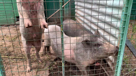 Three sad hungry muddy pigs behind the metal fence in a livestock farm Фото со стока