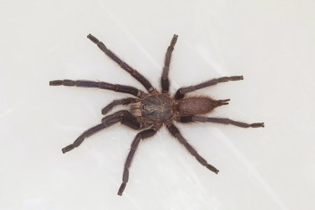Male tarantula of the genus Chilobrachys. Visakhapatnam, Andhra Pradesh, India Stock Photo