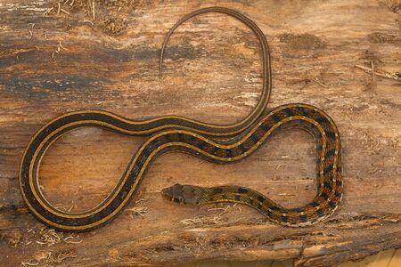 Buff striped keelback snake, Amphiesma stolata from Kaas plateau, Satara district, Maharashtra.