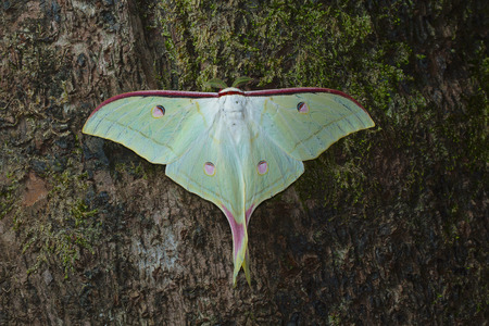 Lunar or Moon moth from Kanger Ghati National Park, Bastar District, Chhattisgarh