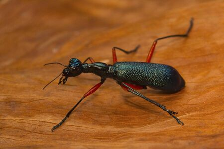 A large tiger beetle from Kanger Ghati National Park, Bastar District, Chhattisgarh