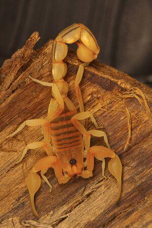 Fat tailed scorpion Hottentotta sp. from Kanyakumari, Tamil Nadu, India