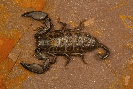 Dwarf scorpion of the genus Liocheles. These live in crevices in rocks in forested areas Reklamní fotografie