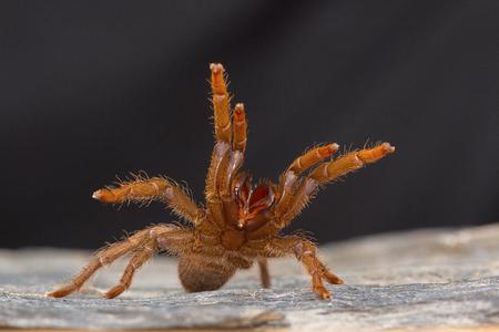A tarantula of the genus Heterophroctus raised in aggression showing its fangs. Satara district, Maharashtra, India