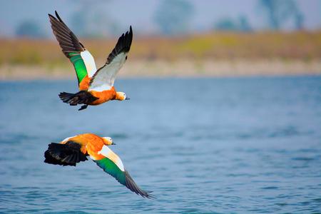 Ruddy shelduck, Tadorna ferruginea known in India as the Brahminy duck.  Kaziranga National Park, Assam, India