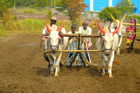 Farmers sowing seeds with the help of white bulls and plough near Velha