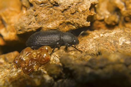 Beetle, Psylliodes sp. Aarey colony, Mumbai, Maharashtra Stock Photo
