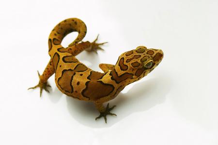 Ground gecko, Geckoella sp Bangalore, Karnataka Stock Photo